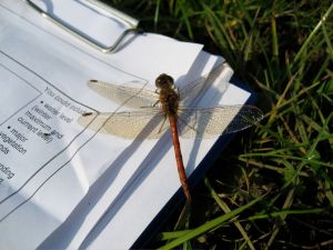 Thanks to Clive Briffet for this Common Darter picture