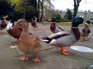 Ducks in Buxton clear pedestrians from the streets
