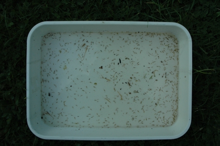 A tray of pond olive larvae