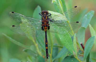 White-faced darter dragonfly (Leucorrhinia dubia)