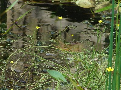 Golden-ringed dragonfly laying her eggs in a garden pond