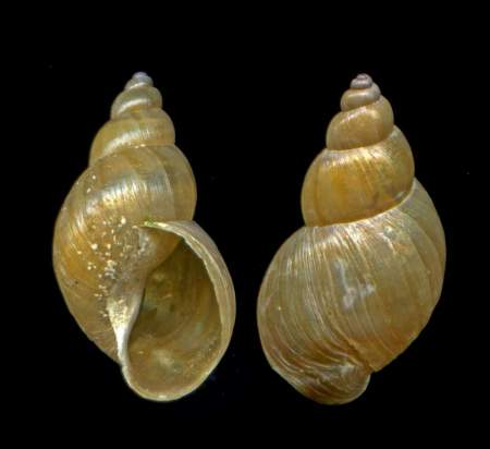 Dwarf pond snail shells - these are at least 10 x life size. This species is only about half a centimetre high. If you've got bigger ones than this, they're not dwarf pond snails.