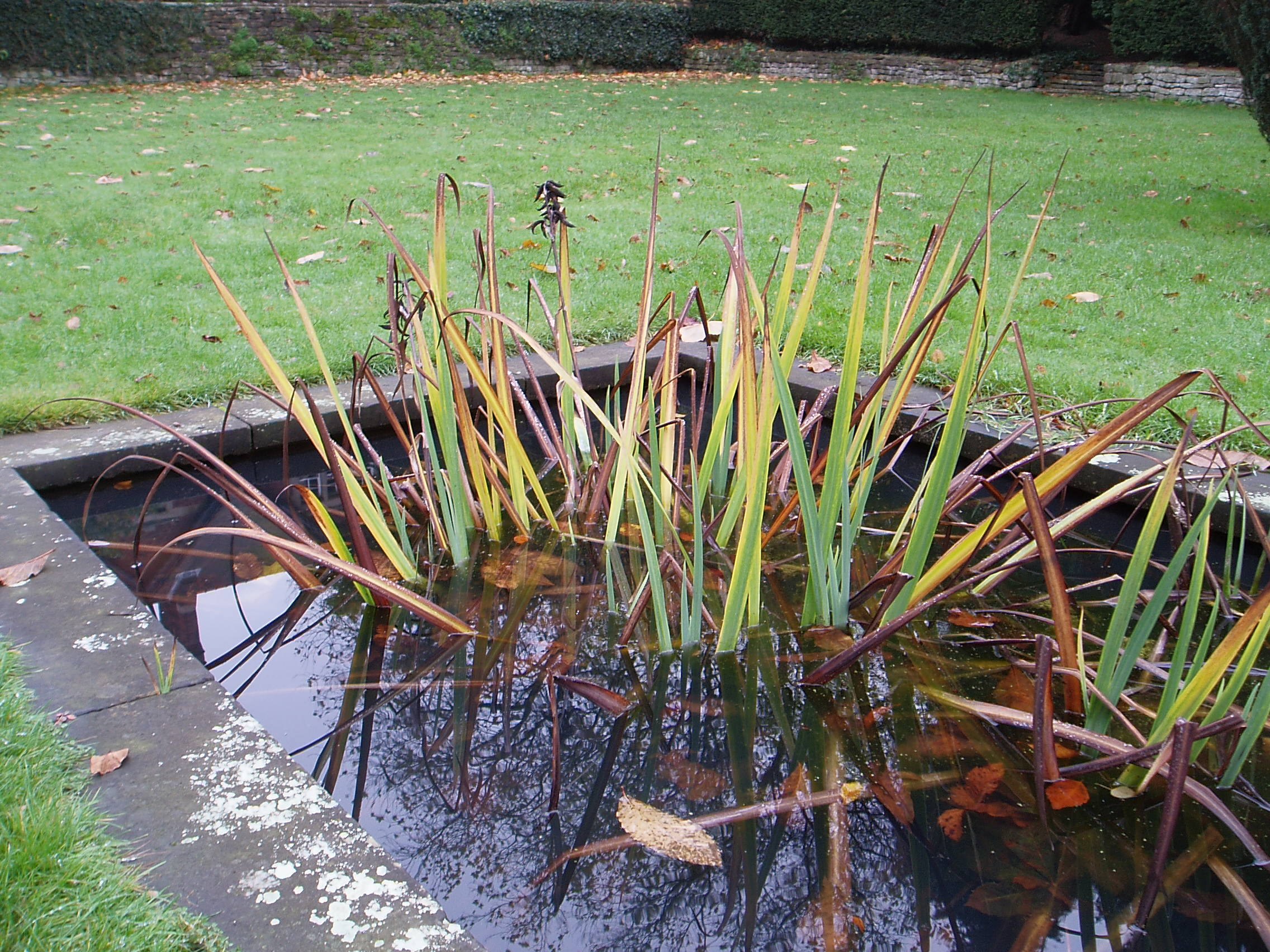 Marginal plants don t always grow at the edge of ponds for Marginal pond plants