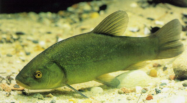 Do tench eat dead algae the garden pond blog for Pond fish species