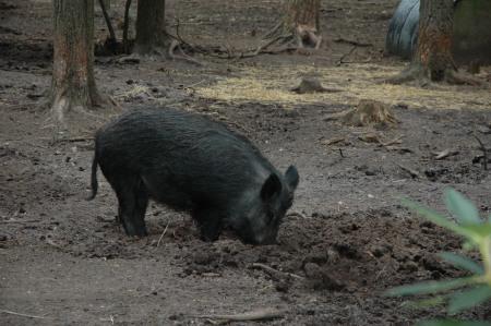 Wild boars make little ponds