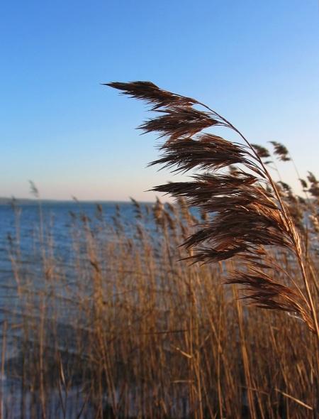 Common Reed (Phragmites australis)