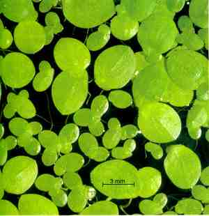 Floating-leaved plants shade the pond (in this case, duckweed)