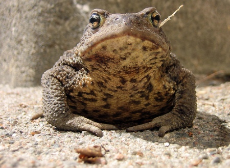 Common Toad (Bufo bufo). Image reproduced under creative commons license to Stefan Jansson.