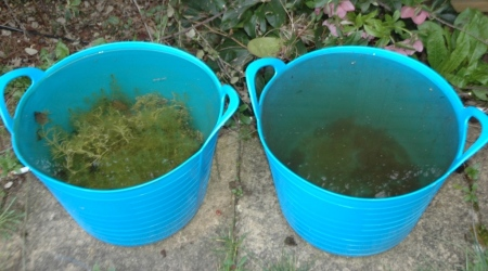 Both buckets have rainwater; the bucket on the left has stoneworts growing in it