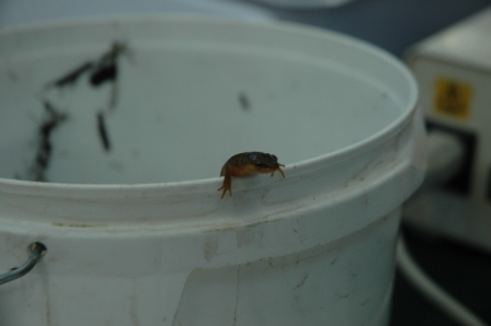 This female smooth newt helped out for two days: she's returning to her home pond in the morning