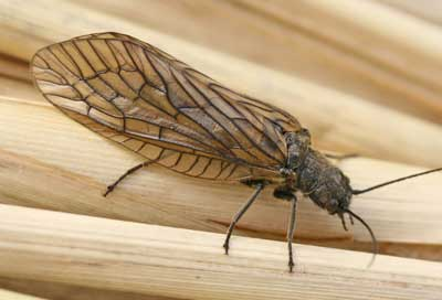 The common alderfly Sialis lutaria: these dark brown flies, with thieir wings in a tent over their backs, are a sure sign that spring is well and truly with us. They are often very confiding - they will happily sit on your shirt or your hand
