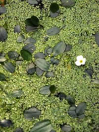 Floating Water-plantain: this picture is from the website of Jonathon Briggs and independent canal ecologist (and all round good chap....)