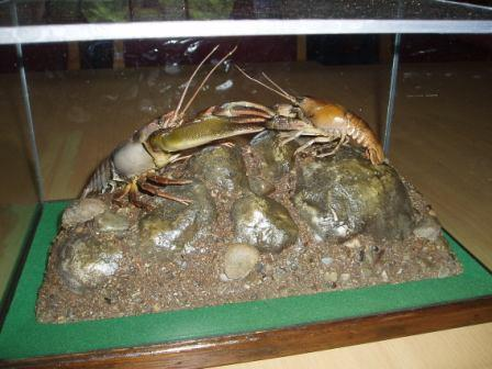 Introduced American Signal Crayfish (left) and native Atlantic Stream Crayfish