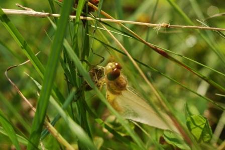 Emerging Common Darter dragonfly amongst grasses at the edge of the pond