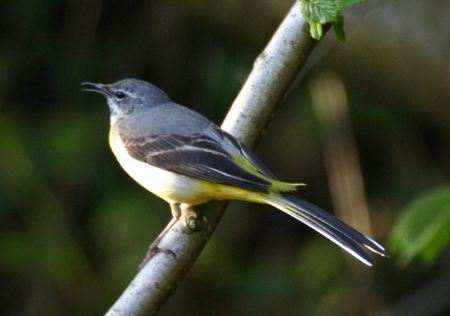 The slightly misnamed Grey Wagtail - it's most striking feature is the blaze of yellow on its bottom and back