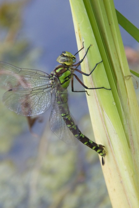 Southern Hawker laying her eggs in the stems of bulrush